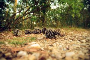Trucchi di giardinaggio: le pigne