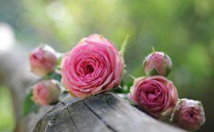 Trucchi di giardinaggio: le rose