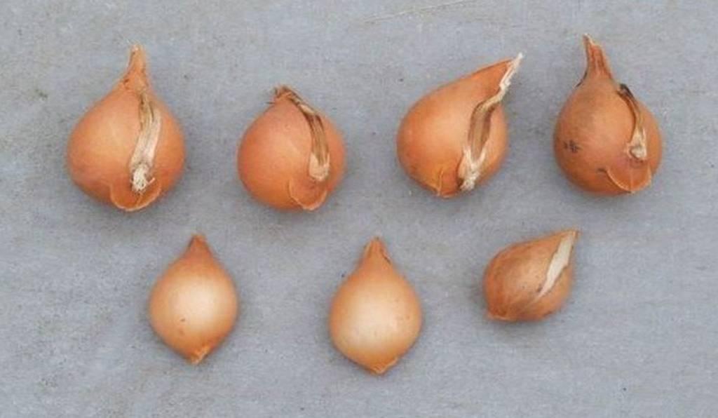 Come conservare i bulbi delle piante